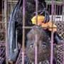 Alarm om exotische wildmarkten: 'Gevaar van nieuwe pandemieën'