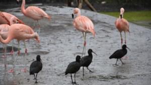Nieuwe bewoners in volière ZooParc Overloon