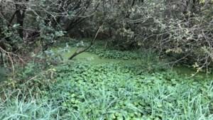 Vijverplant die welig tiert bestreden aan Kettingdijk bij Altweerterheide