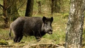 Ontheffing van avondklok voor jacht op zwijnen en vossen
