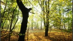 Bomen op de Sint Pietersberg kampen met roetschorsschimmel: paden afgesloten
