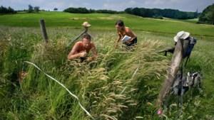 Op schraal Limburgs kalkgrasland wil de natuur uitzonderlijk bloeien, maar niet zonder hulp van haar maker en vijand