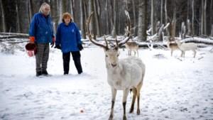 Jetty vreest voor wolf na aantreffen doodgebeten herten: 'Het maakt onzeker: komt hij terug?'