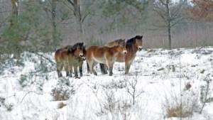Het oerpaard keert terug: in natuurgebied Schuitwater in Broekhuizen wonen sinds kort vier exmoorpony's