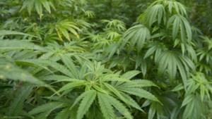 Celstraf van 36 maanden en boete van 8.000 euro voor kweken van cannabis in Maasmechelen