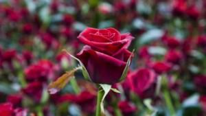 KB Café op Valentijnsdag over de rol van liefde in poëzie door de eeuwen heen