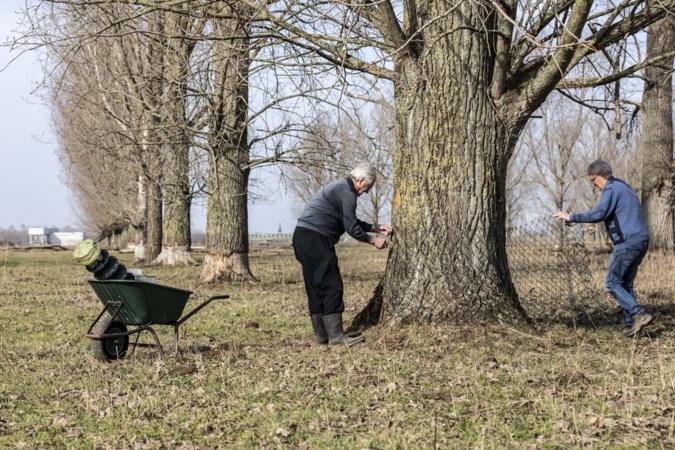 Bewoners zijn wachten beu en beschermen bomen zelf tegen bevers in Roermond
