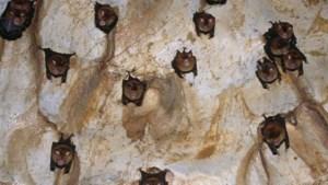 Geen vleermuizentelling in grotten Riemst uit angst voor coronavirus