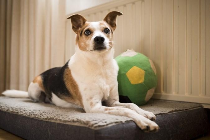 Hond Bowie uit Echt heeft epilepsie: 'Bij de eerste aanval dachten we dat hij vergiftigd was'
