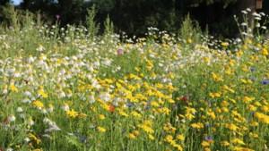 Gratis zaad voor bloemrijke akkerranden in Horst aan de Maas