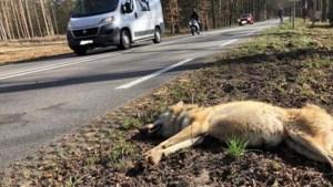 Wolvin doodgereden op provinciale weg in Gelderland
