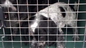 Te jonge pups aangetroffen bij grenscontrole op A67 en in quarantaine geplaatst