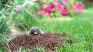 Help, molshopen in de tuin, maar waar is toch die mol?