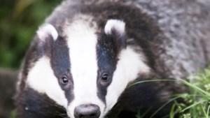 Aangifte vanwege 'pletten' andere dieren na weghalen Roermondse dassen
