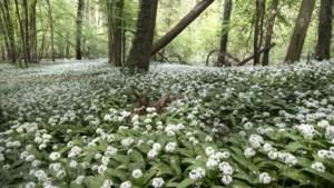 Staatsbosbeheer breidt Bunderbos uit met halve hectare nieuwe aanplant