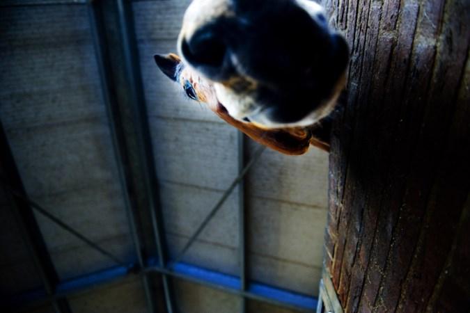 Besmettelijk paardenvirus duikt ook op in Limburgse stal