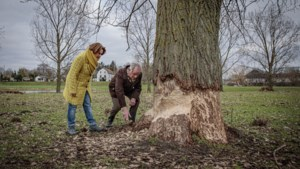 Bever blijft voor overlast zorgen in Roermond