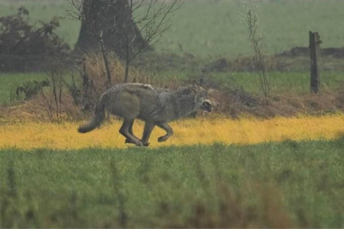 'Vlaamse' wolven beten schaap dood in Stramproy: 'Hun gebied breidt zich steeds meer uit'