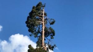 Maastricht maakt een van hoogste bomen van Nederland een kopje kleiner