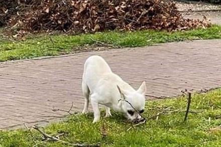 Herkenbosch in de ban van de 'witte wolf': van wie is toch het timide hondje dat al dagen over de straten zwerft?