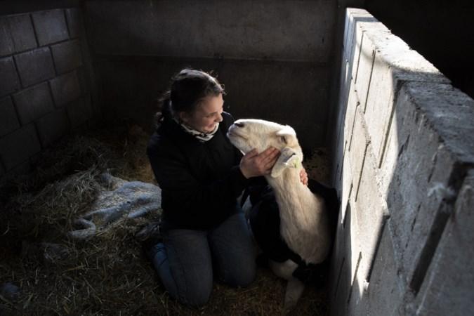 Opvangplek voor kansloze dieren die echt niemand meer wil, zoals Guusje de gans met X-benen