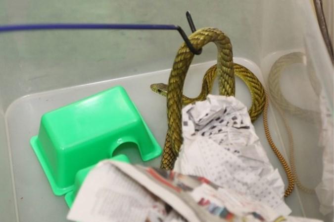 Video: Tiener houdt cobra's en andere gevaarlijke slangen in tuinhuis in Belgische Rotem