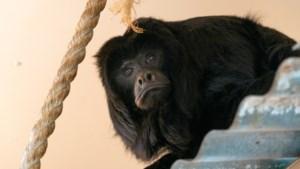 Brulapen nemen intrek in 'Zuid-Amerika' van ZooParc Overloon