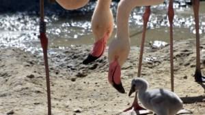 Volière van flamingo's in GaiaZoo hersteld na sneeuwschade