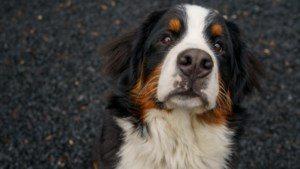 'Puppy' Otis uit Kelmond is al net zo groot als een zesjarig kind: 'Toch begint de dag met knuffelen'
