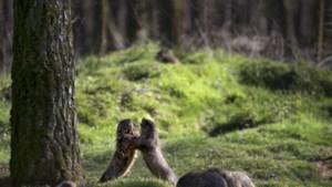 Wildpark Gangelt kan doen waar GaiaZOO en Mondo Verde van dromen: bezoekers ontvangen