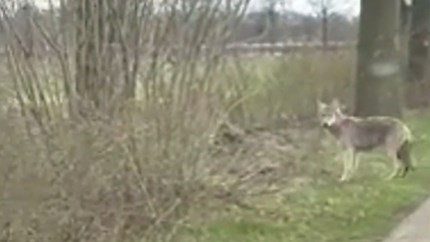 Video: Wolf gespot in het Twentse landschap