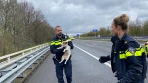 Jack russell zorgt voor opschudding op A73; hond bijt persfotograaf