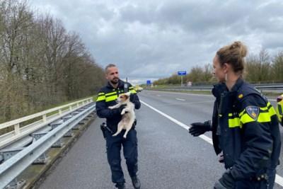 Jack russell zorgt voor opschudding op A73; snelweg afgesloten en persfotograaf in hand gebeten
