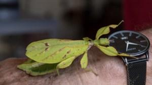 Kees uit Kerkrade noemt zijn bijzondere insecten Kwik, Kwek en Kwak