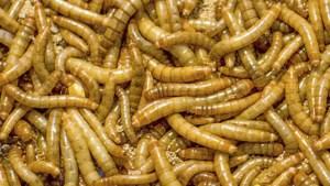 Voedsel: Nederlandse meelwormenkweker in Franse handen