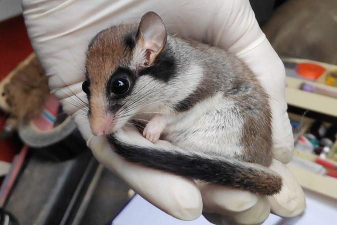 Onderzoek na vondst eikelmuis in Maasbree: zit er een hele populatie van het meest bedreigde zoogdier van Nederland?