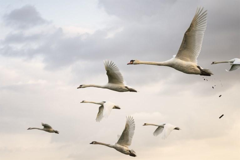 Natuurschoon in optima forma in Neer: grote groep zwanen siert het landschap nabij de Maas