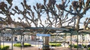 Waar staat de mooiste boom van Limburg?