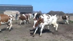 Video: Koeiendans in Neer: koeien mogen na lange winter op stal weer de wei in