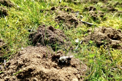 Mens & Natuur: wat zijn die minimolshoopjes op de begraafplaats in Echt?