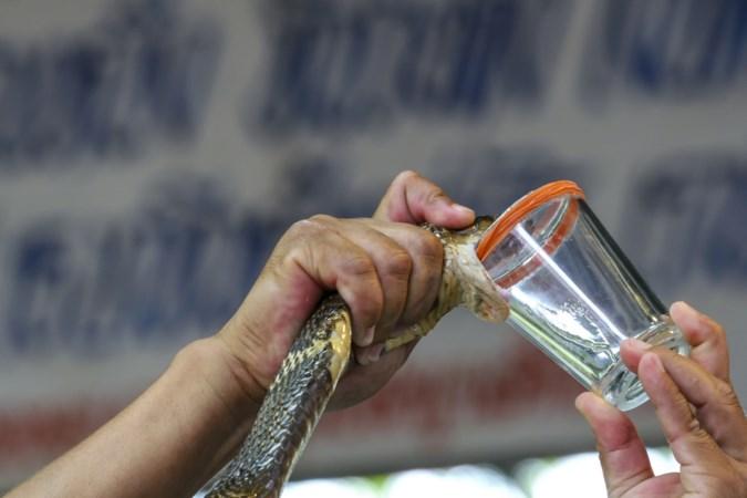 Dag rimpels: DSM melkt slangen in Brazilië voor anti-verouderingscrème