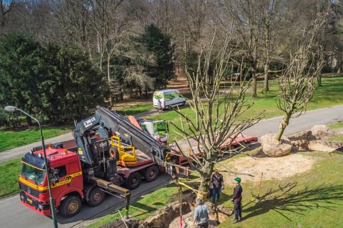 Annapark Venray adopteert negen oude lindebomen uit Swolgen