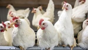 Duurzame kippenboer Kipster uit Oirlo wil met vers kapitaal wereldwijd doorbreken
