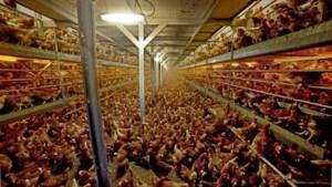 Peel en Maas wil ook de laatste kippen- en varkensstallen dicht bij de kernen inruilen voor woningen