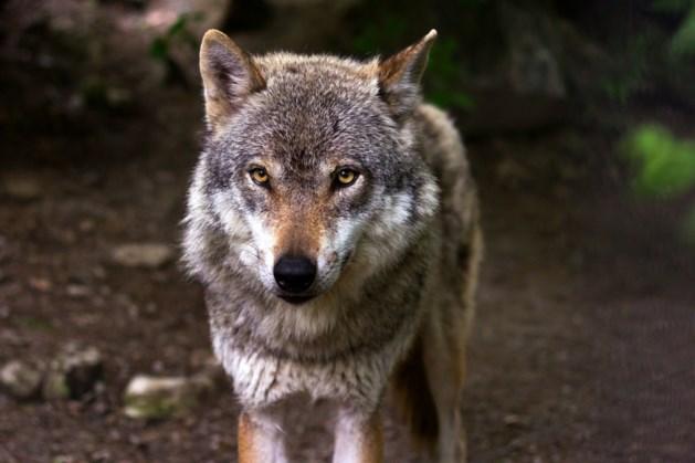 Kinderen jagen als wolven door de bossen tussen Meerlo en Wanssum