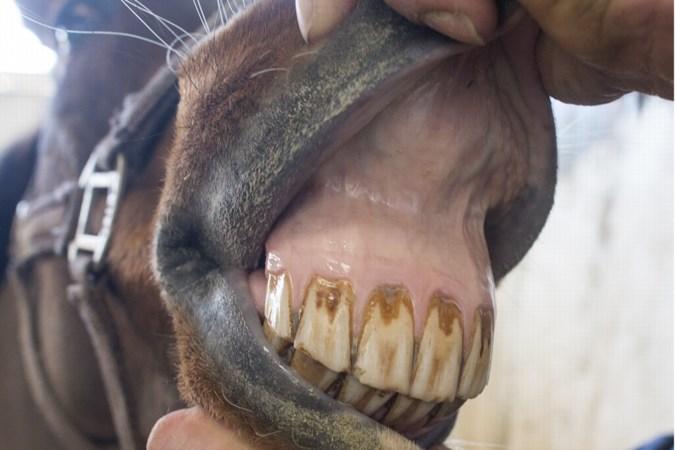 Opnieuw verwaarloosde dieren weggehaald bij eigenaar in Maria Hoop, paarden zaten vol met luizen en mijten