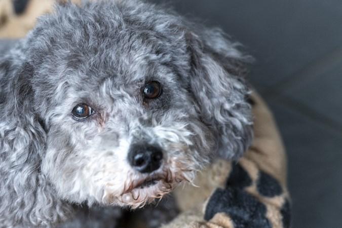 Toen Marijke uit Roermond haar vriendin verloor, at hondje Moefel dagen niet van verdriet