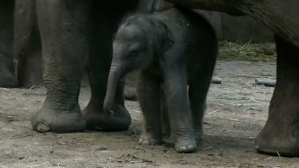 Video: Olifantje geboren in Diergaarde Blijdorp