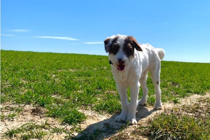 Puppy Flip weer veilig thuis, nadat hij twee dagen lang in blinde paniek op de A76 tussen Spaubeek en Geleen rende