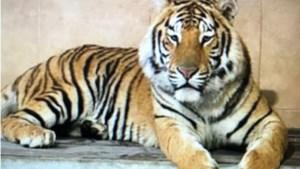 Bengaalse tijgerwelpen van Mondo Verde Landgraaf verhuizen naar Belgisch park